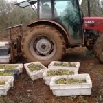 Colheita da azeitona-plantação ecológica -Esporão.
