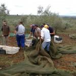 colheita em plantação ecológica -Alentejo