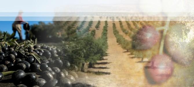 Desenvolvimento da olivicultura com segurança